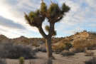 And finally, looking rather yukka-like, the eponymous Joshua Tree.