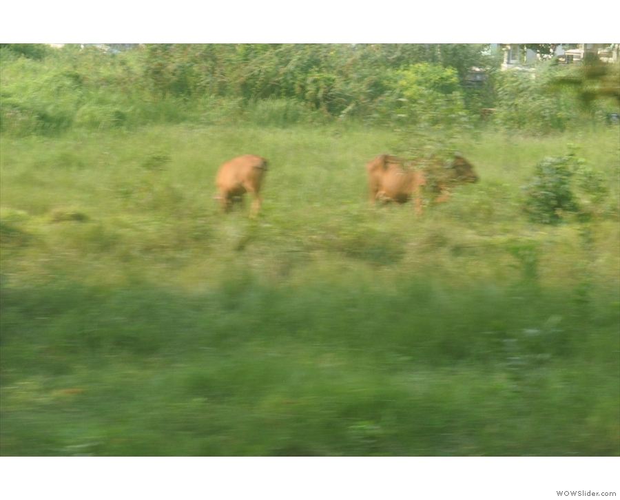I saw very little livestock. These two grazing cows(?) were a rarity.