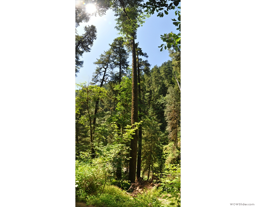 Talking of tall tress, I passed this one on the hike back.