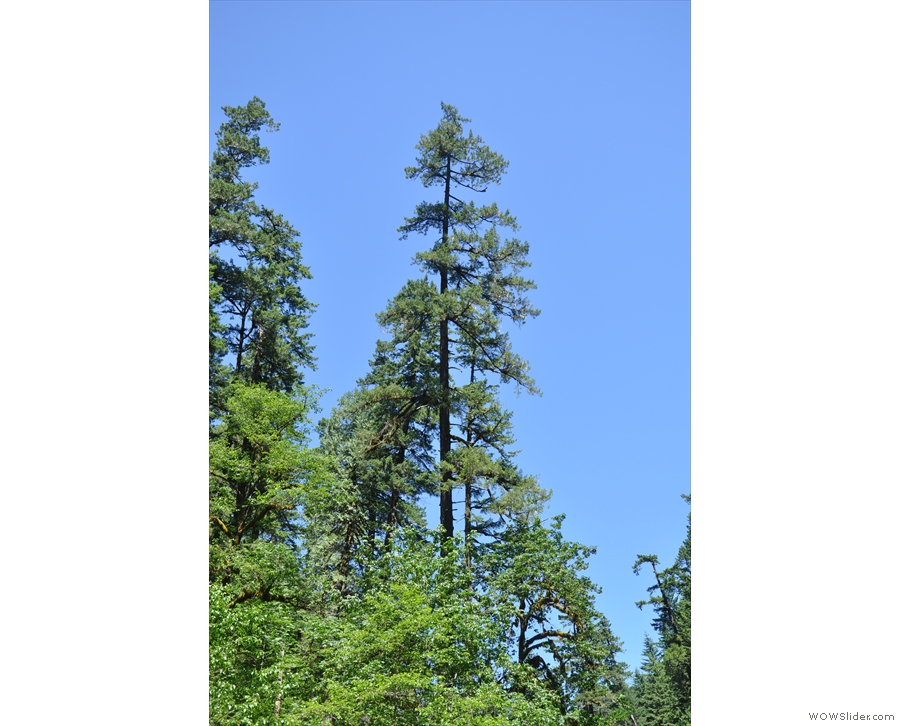 There are some seriously tall trees around here...