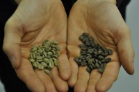 A handful of green coffee beans on the left and a handful of decaffeinated green beans on the right, showing the difference in colour, with the decaffeinated beans a dark shade of grey.