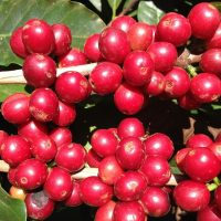 Ripe coffee cherries on a tree, waiting to be picked.