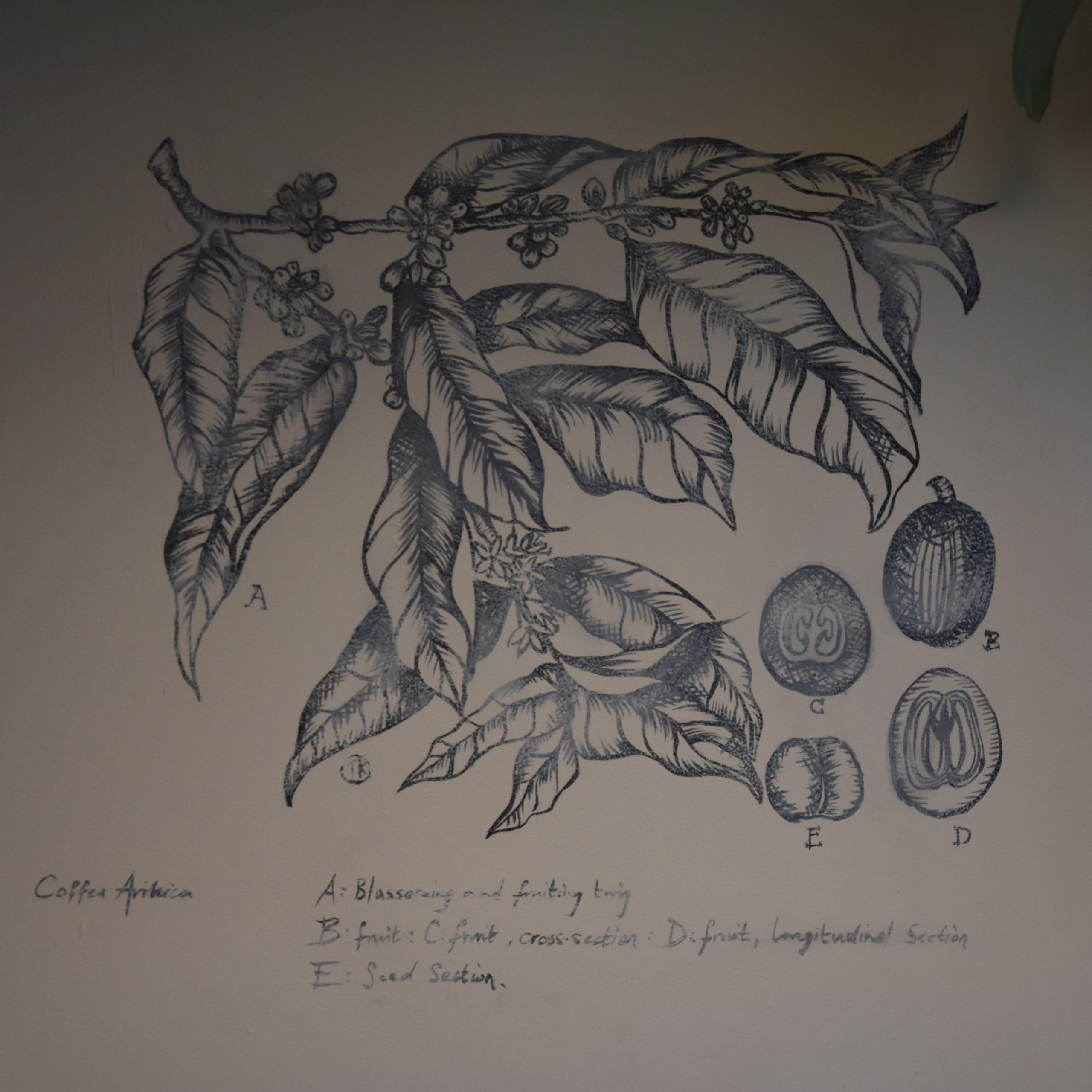 One of the beautiful coffee artworks on the wall of Canopy Coffee in Guildford, showing the branch of a coffee tree and cross-sections of the coffee cherry.