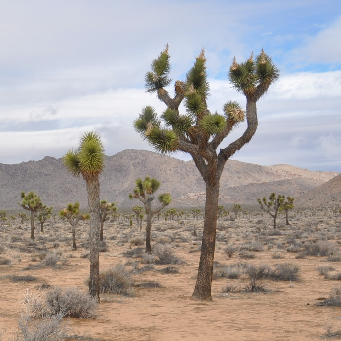 A stand of Joshua trees in the Joshua Tree National Park in California.