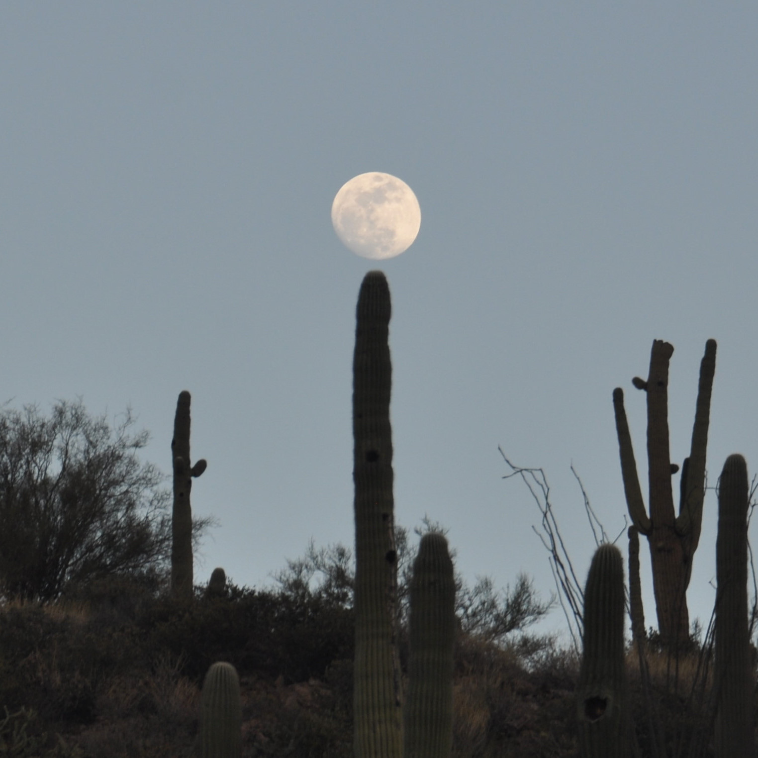 The moon, rising above the side of a valley along the Apache Trail in Arizona, is momentarily suspended above a cactus.