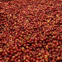 Freshly picked coffee cherries, spread out and ready for sorting prior to processing.