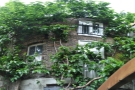 ... while this, growing all the way to the roof of the building, is a Mulberry bush (tree).