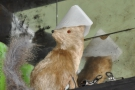 A fox in a hat!