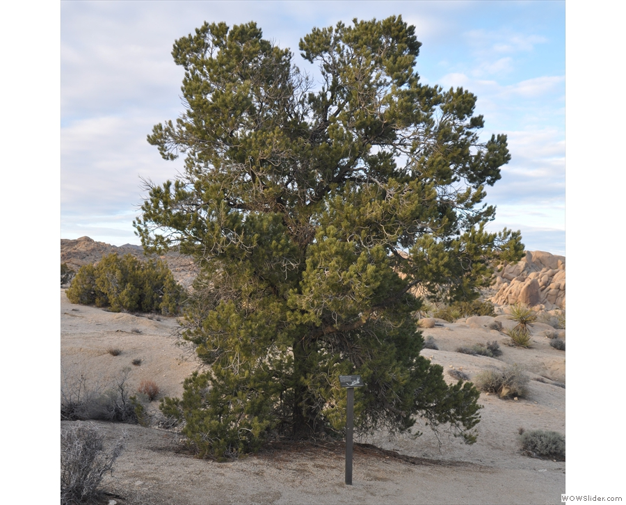 It wasn't all dramatic rocks though. There were plenty of flora too, such as this desert pine.