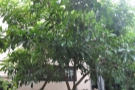 ... underneath the shade of this tree (everything else is under a huge awning).