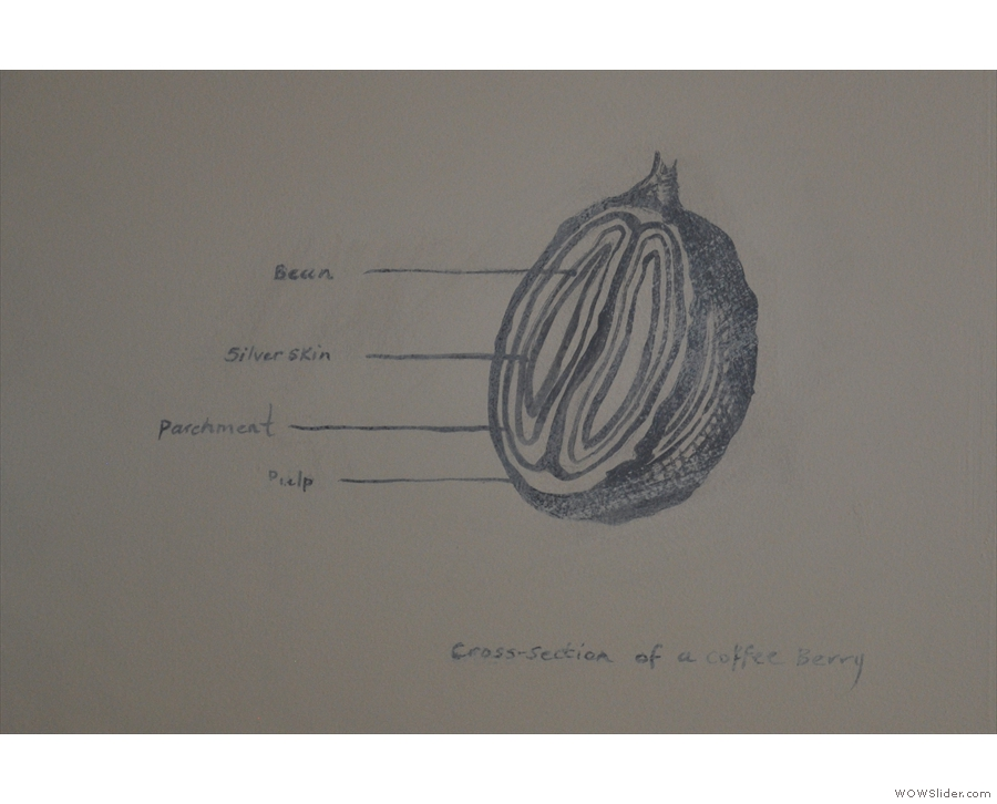 The first is a line-drawing of a cross-section of a coffee cherry.