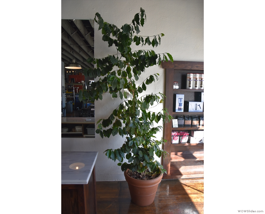 Talking of coffee, 111 Roasting Works has its own coffee tree...