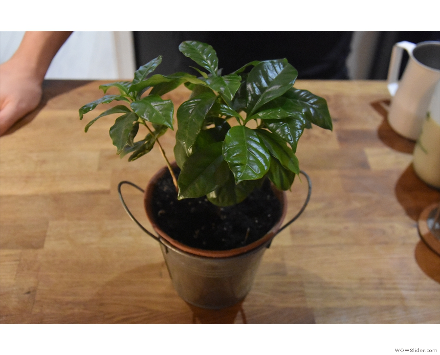 ... although pride of place goes to these four coffee plants!
