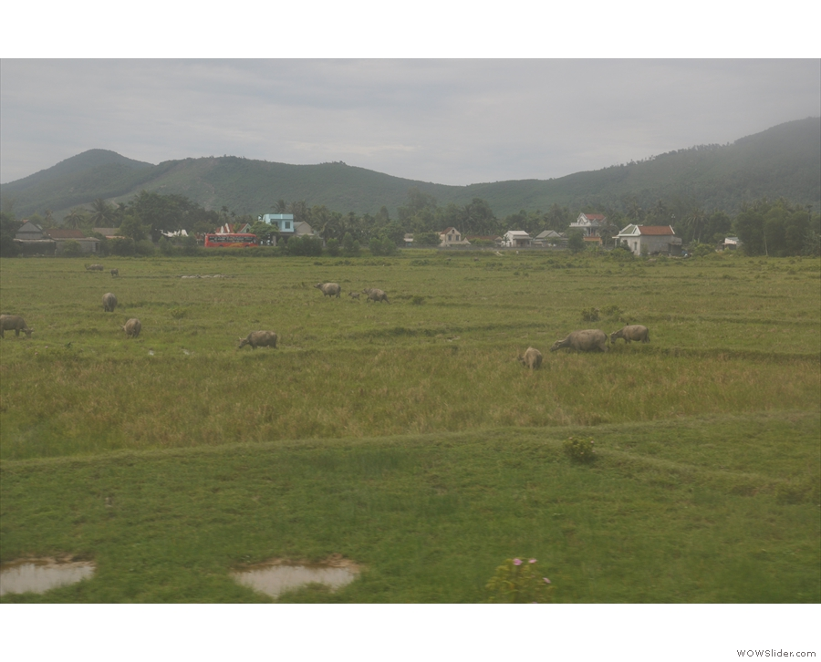 Having noted the lack of livestock on the way to Danang, I now noticed plenty...