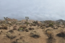 A panoramic view of the bottom of the valley, dotted with small Joshua trees.