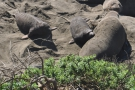 Most of the seals seemed to be mothers with their recently born pups...