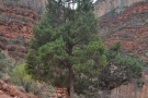 I remember this tree from my descent. Just beyond it is the split in the trail. The path...