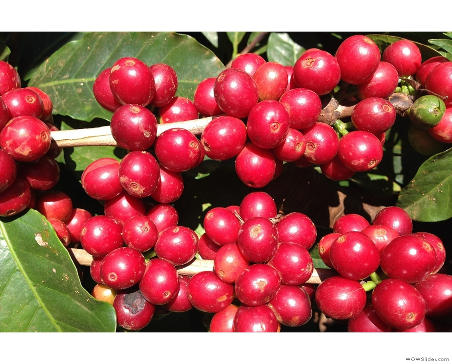 Let's start with coffee cherries on a tree...