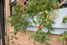 ... and it also grows its own tomatoes!